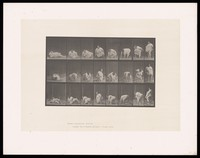 view An obese woman getting up off the ground: three series. Collotype after Eadweard Muybridge, 1887.