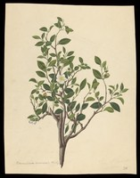 view Tea plant (Camellia sinensis): flowering stem with sectioned leaf and many floral segments. Coloured engraving by J. Miller, c. 1771.