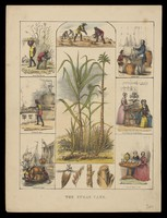 view A sugar cane plant (Saccharum officinarum), its flower and sections of stem, bordered by six scenes illustrating its use by man. Coloured lithograph, c. 1840.