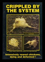 view Crippled by the system : intensively reared chickens, dying and deformed!
