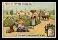 view Fleurs odorantes : cueillette des violettes à Parme / Compagnie Liebig.