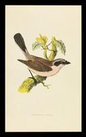 view Ventolin inhaler rotacaps & rotahaler : red-backed shrike.