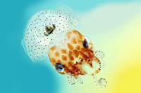 view Hawaiian bobtail squid.