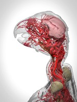 view Microvasculature of the african grey parrot.